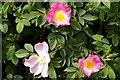 TL4172 : Unofficial English roses (Rosa canina) by Tiger