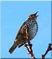 SU2995 : Song thrush near Faringdon Folly by Brian Robert Marshall