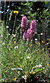 TR2161 : Southern Marsh Orchid (Dactylorhiza praetermissa), Stodmarch by Mike Pennington