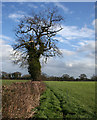 SJ5252 : Tree in field boundary, near Egerton Green by Espresso Addict