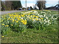 SK6304 : Daffodils, Uppingham Road. by Michael Trolove