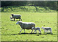 ST7062 : 2008 : Spring lambs at Pennsylvania near Englishcombe by Maurice Pullin