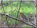 H4672 : Brave wee robin, Omagh by Kenneth Allen