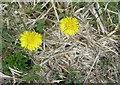Dist:0.9km<br/>Providing a welcome splash of colour along the forestry road, Coltsfoot is one of the early flowers to bloom here.