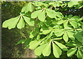 TM1255 : Fresh green horse chestnut leaves : Week 18