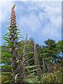 SX9150 : Echium pininana at Coleton Fishacre : Week 20