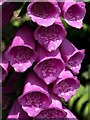 SX9049 : Foxglove on the coast path by Derek Harper