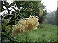 TQ2786 : Elderflowers in the rain by ceridwen