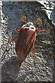 SD8967 : Malham Tarn woods: Cockchafer : Week 23