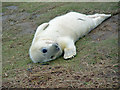TF4299 : A young seal at Donna Nook by Peter Church