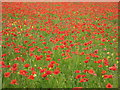 SO9841 : Field of poppies at Netherton by Philip Halling