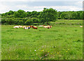 R2494 : Cows lying in wildflower Burren meadow by C Michael Hogan