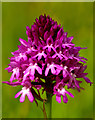 TQ1751 : Pyramidal Orchid (Anacamptis pyramidalis) by Ian Capper