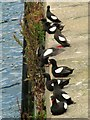 J5082 : Black Guillemots, Bangor [8] by Rossographer