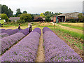 TL1832 : Cadwell Farm - Hitchin Lavender - 11 by John Lucas