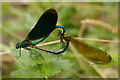 SY5097 : Beautiful Demoiselles mating by Ian Capper