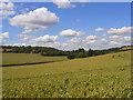 SU7997 : Wheat, Radnage by Andrew Smith