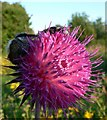 SX8266 : Two bees fast asleep on Musk Thistle by paul dickson