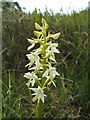 NS3778 : Lesser Butterfly-orchid (Platanthera bifolia) by Lairich Rig