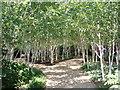 TL5362 : Silver Trees by Simon Peck