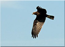 SD4774 : Marsh Harrier by Dave Green
