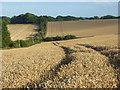 SU4283 : Wheat, Lockinge : Week 33