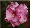 TQ2995 : Nerium Oleander by Christine Matthews