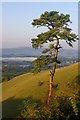 TQ2452 : Lone Scots Pine, Colley Hill by Ian Capper