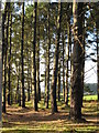 SW5431 : Conifer plantation near St Hilary by Rod Allday