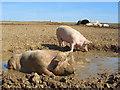 SU3071 : Pigs, Chilton Foliat by Andrew Smith