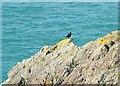SW6715 : Chough on Predannack Cliffs by Simon Huguet