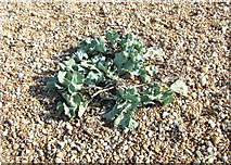 TR0916 : Sea kale, Dungeness by Simon Huguet