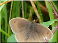 ST4155 : A Male Meadow Brown. Much drabber than the female by Paul Harvey