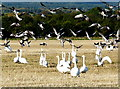 NH8176 : Whooper Swans and Greylag Geese, Balinroich by sylvia duckworth