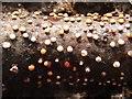 NS4276 : Coral Spot Fungus (Nectria cinnabarina) by Lairich Rig