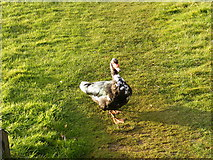 TM2850 : A very tame duck at the Melton Reserve by Adrian Cable