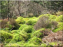 NS1385 : Mosses, Younger Botanic Garden, Benmore by Richard Webb