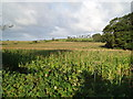 SD4864 : Maize field by Rod