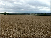 TF3686 : Wheat and Wolds by John Beal