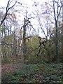 SP2873 : Broken tree in Crackley Wood by E Gammie