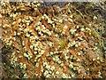 NS3984 : A lichen - Trapeliopsis pseudogranulosa by Lairich Rig