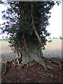 TG2823 : The gnarled base of an ancient oak by Evelyn Simak