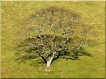 SX8953 : Oak Tree by Tom Jolliffe