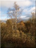 SX8672 : Birch trees near Jetty Marsh by Derek Harper