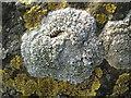 """NS3675 : A lichen - Tephromela atra (""""Black Shields"""") by Lairich Rig"""