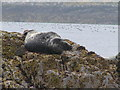 NU2337 : A Seal on Gun Rock, Farne Islands by N Chadwick