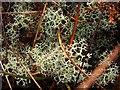 NS3778 : A lichen - Cladonia portentosa by Lairich Rig