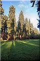 TL8193 : Tall sequoias at Lynford Hall by Bob Jones