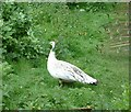 SD3605 : White Peahen by Gerald England
