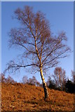 SU2609 : Silver birch tree, Acres Down, New Forest by Jim Champion